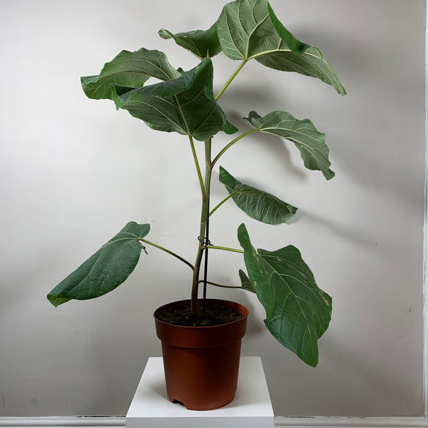 Ficus Everest (Elephant Ear Fig)