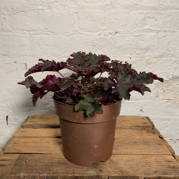 Heuchera Purple Palace (Coral Bells)