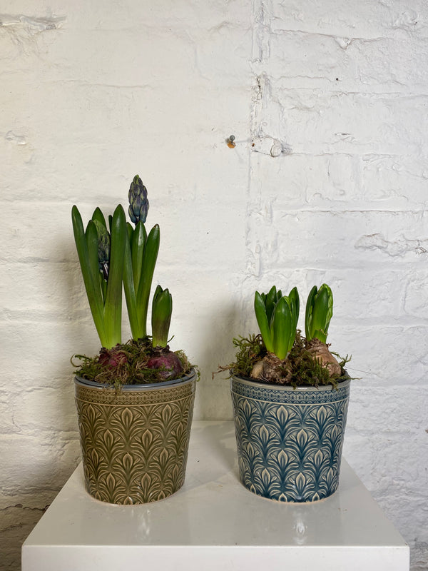 Hyacinth in pot
