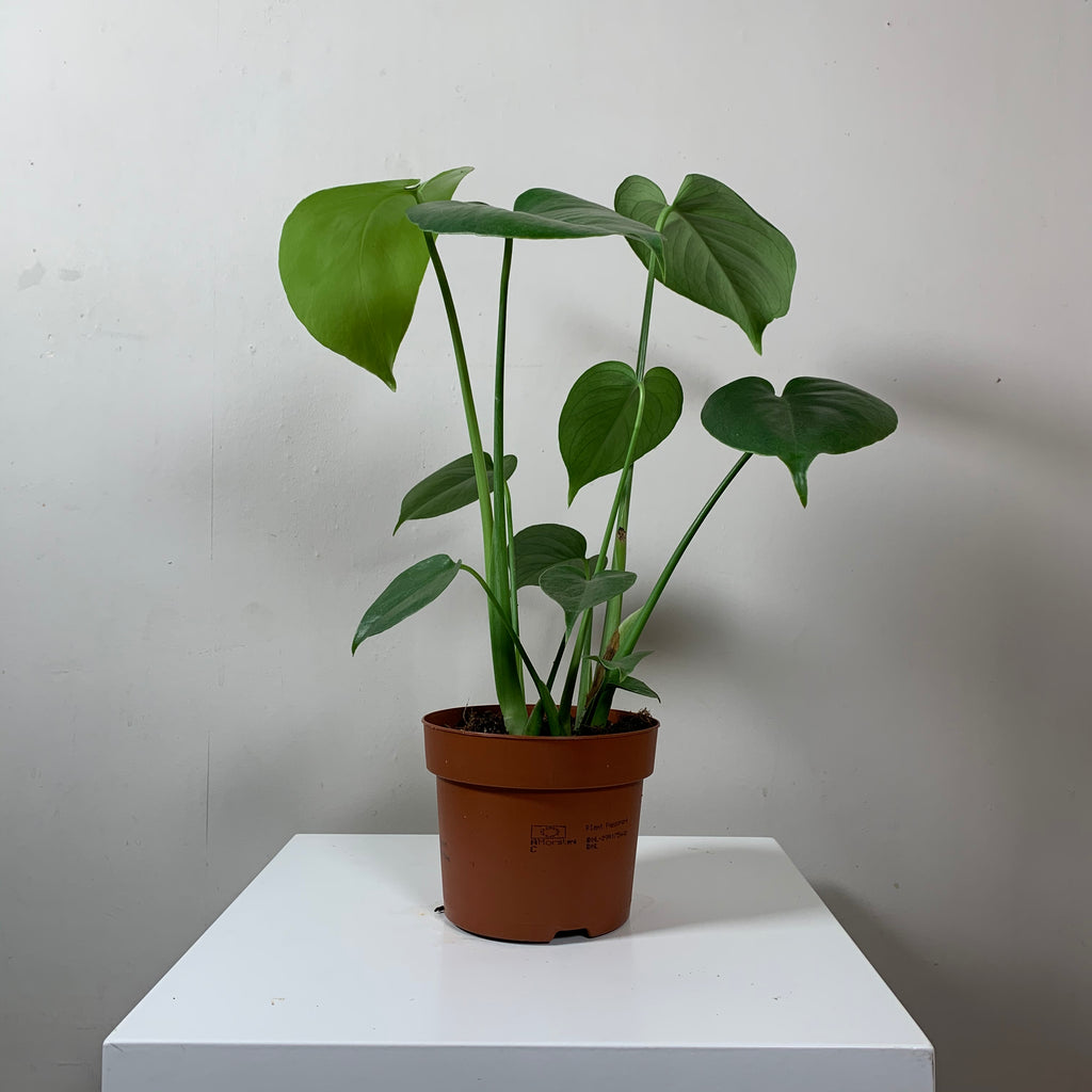Monstera Deliciosa (Cheese Plant)