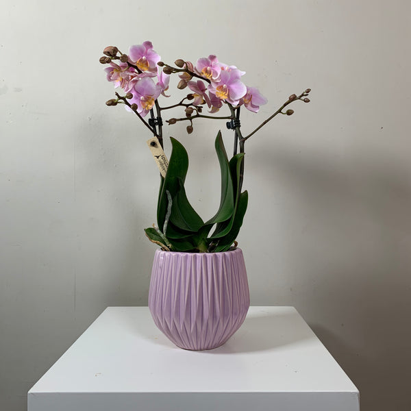 Phalaenopsis — Pink (Moth Orchid in pot)
