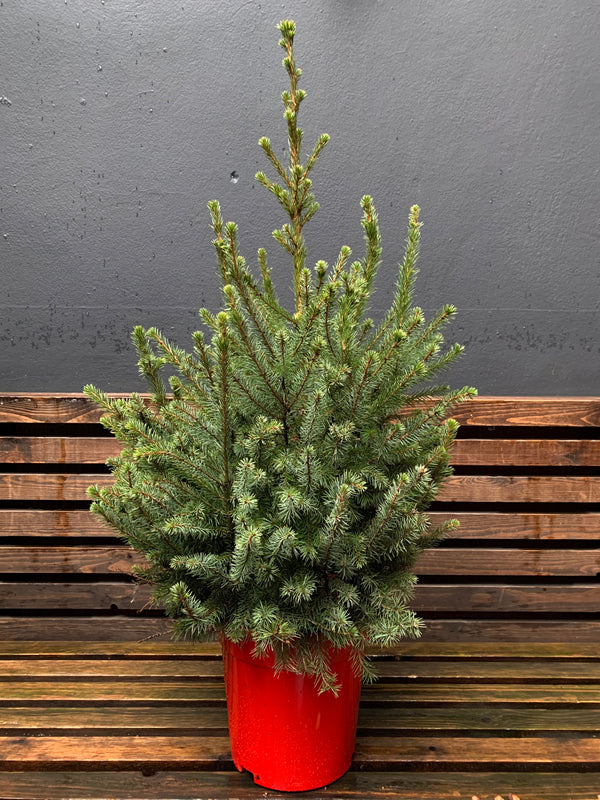 Picea (Potted Christmas Tree)