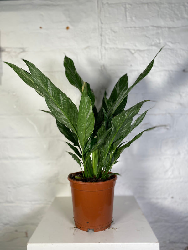 Spathiphyllum Diamond (Variegated Peace Lily)