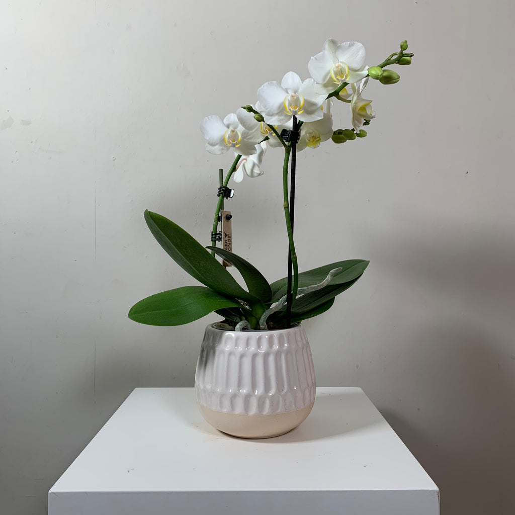 Phalaenopsis — White (Moth Orchid in pot)