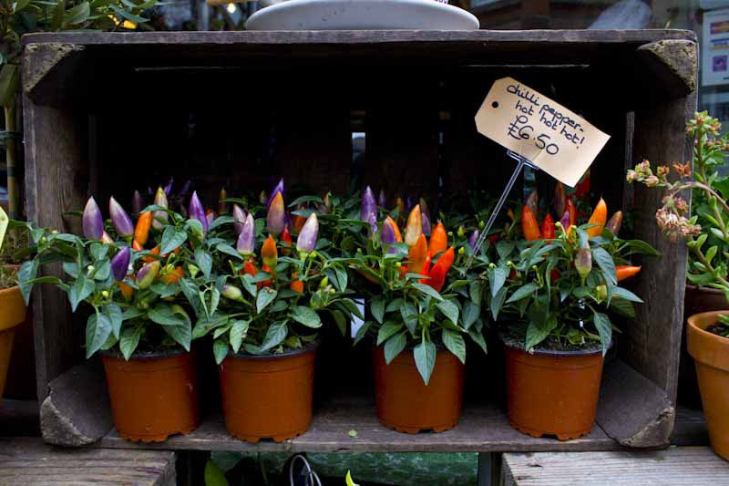 Chilli plants in wooden crate