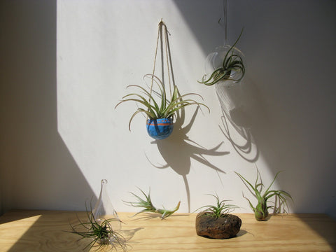 Airplant collection