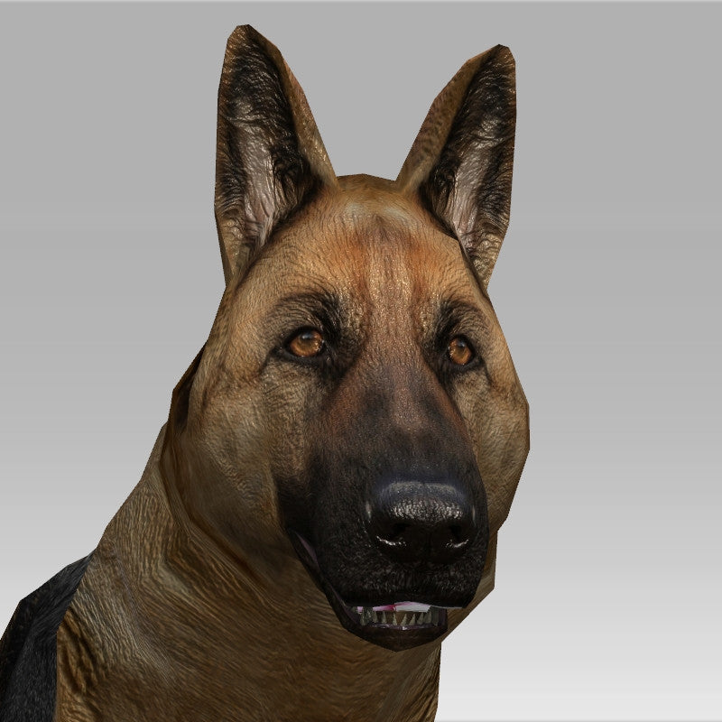Alsation/German Shepherd