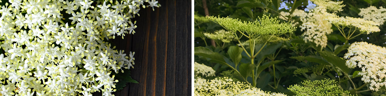 elderflower header