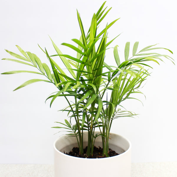 Parlour Palm + Medium Oslo Planter