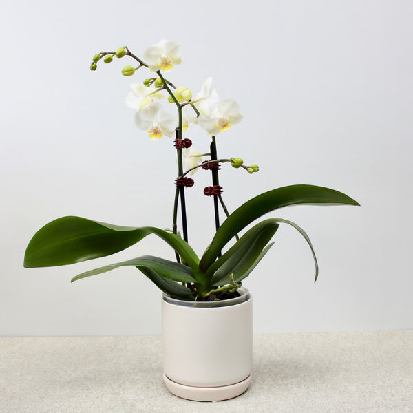 White Double Stem Orchid + Small Oslo Planter