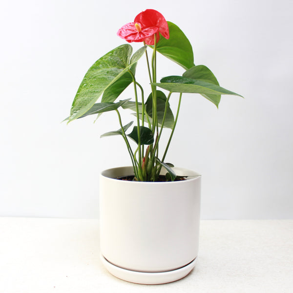 Red Anthurium + Medium Oslo Planter