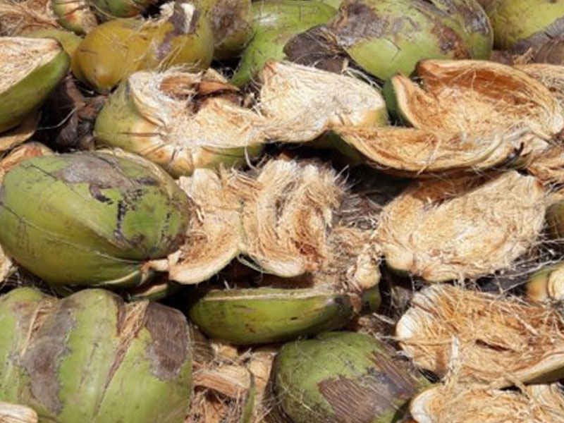 green coconut husks
