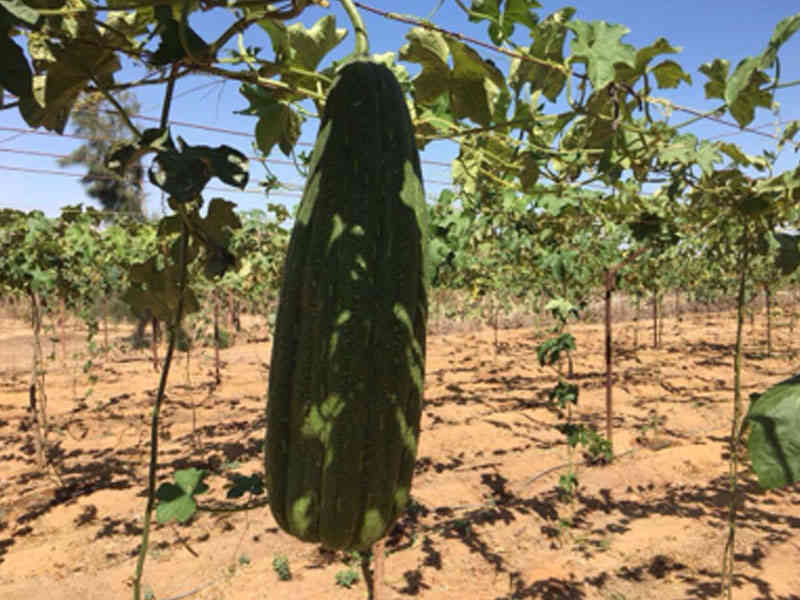 loofah growing on the vine