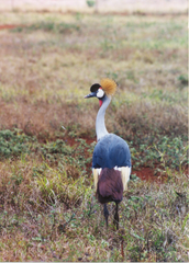 Adopt a Crowned Crane