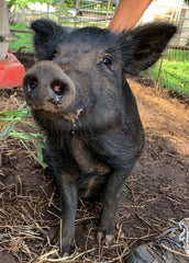 Adopt Nick the Lava Pig