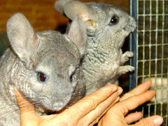 Adopt a Chinchilla