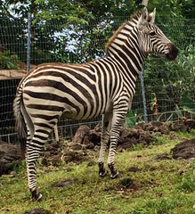 Adopt Patti the Zebra