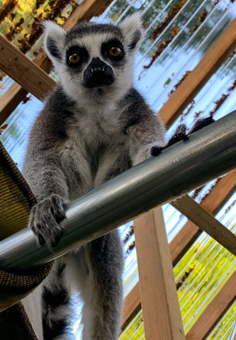 "Adopt ""Mo"" the Lemur"