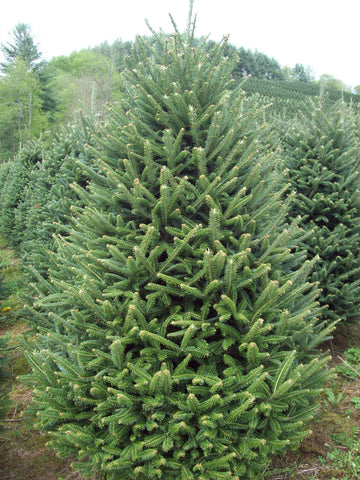 Fraser Fir Premium and Slim Non-Drop Christmas Tree