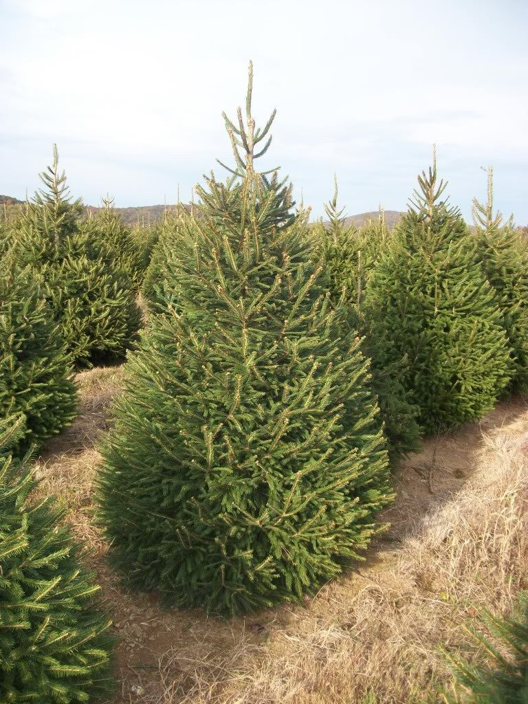 Christmas Tree,Free Delivery,UK,Spruce,Nordman,Non Drop,Cheap, Best Quality, South Yorkshire ,doncaster,dronfield,matlock,bakewell,alfreton,clay cross,Chesterfield, Derbyshire, Sheffield, Yorkshire.