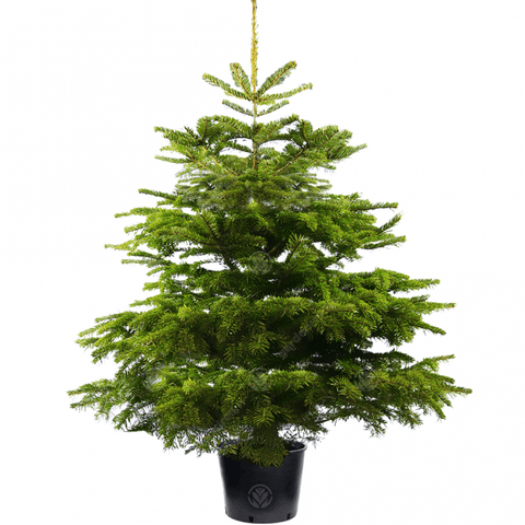 Pot grown Nordman Non Drop Christmas Tree