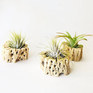 Air Plant + Wood Holder - Indoor Planter