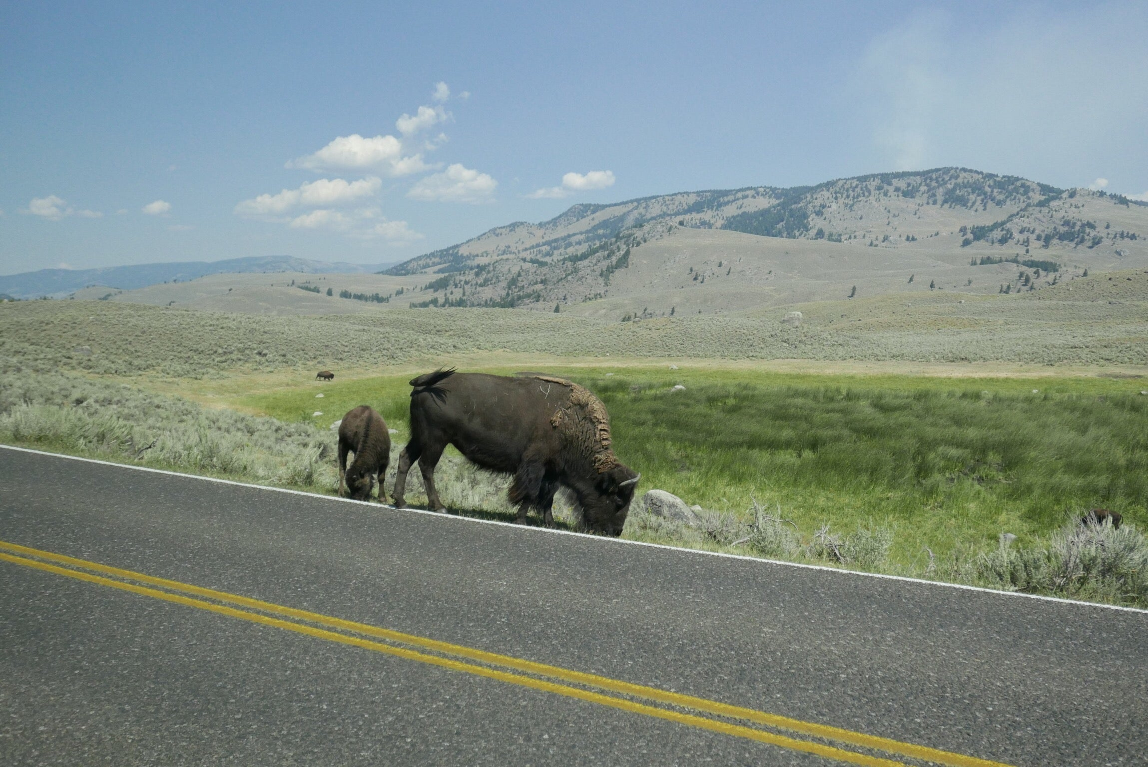 Coral & Tusk Bison spotting at Yellowstone National Park, Lamar Valley