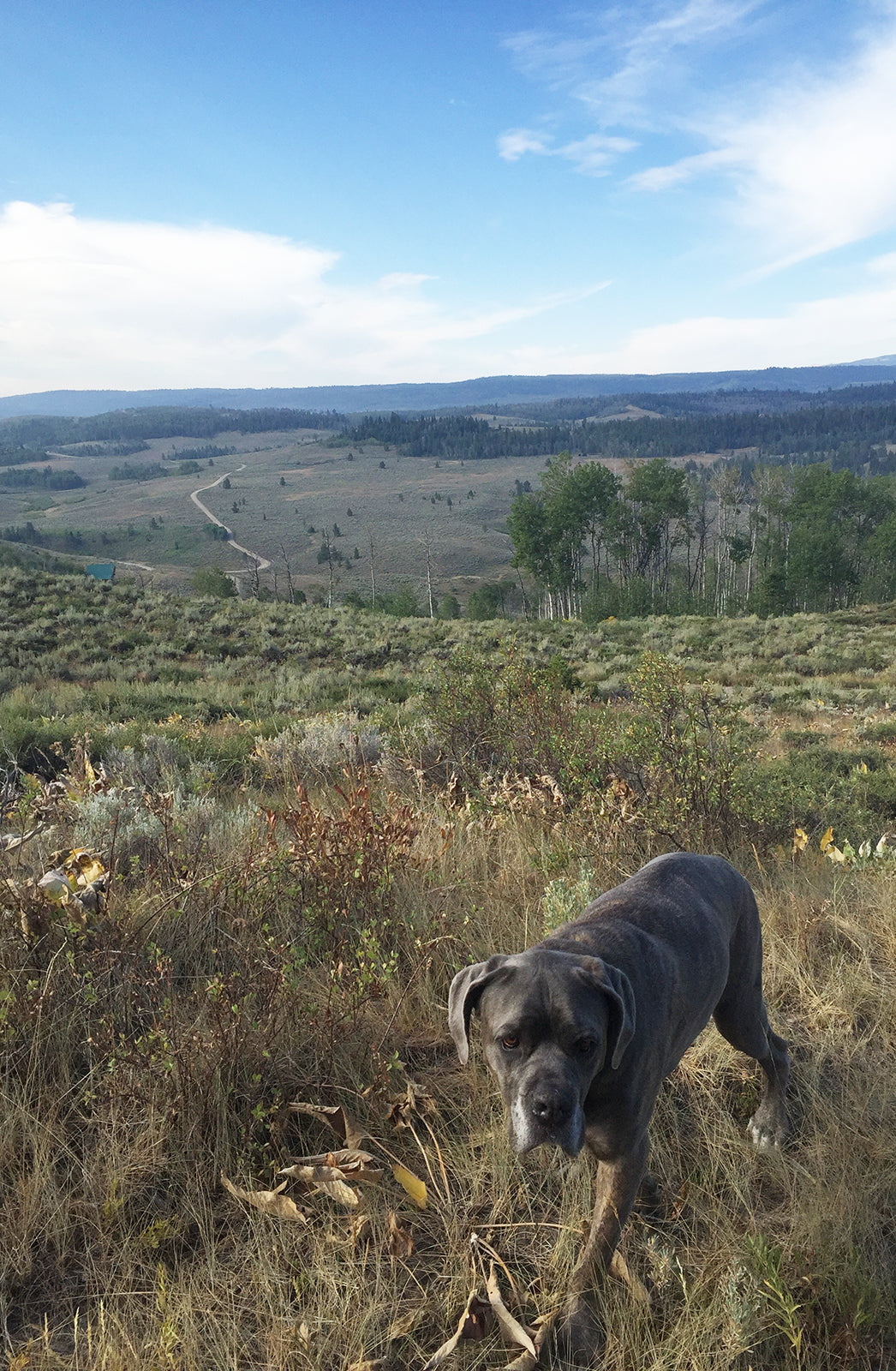 Coral & Tusk Wyoming - Paco the Mastiff