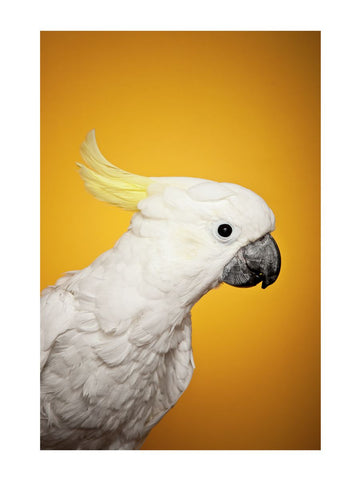 Cockatoo on yellow by Richard Bailey 12x16 Print