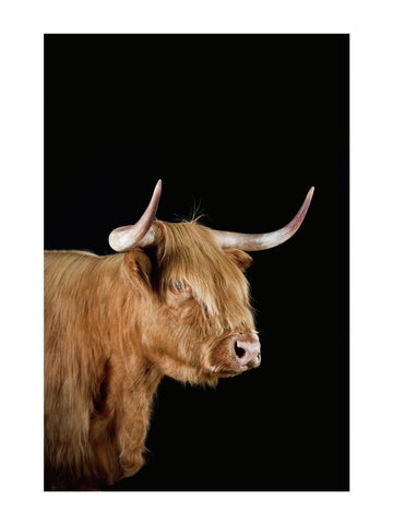 Highland cow by Richard Bailey 12x16 Print