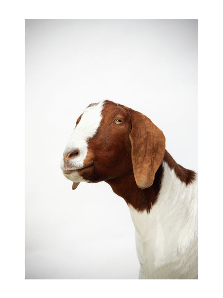 Boer Goat by Richard Bailey 12x16 Print