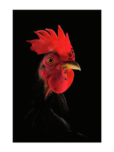 Cockerel by Richard Bailey 12x16 Print