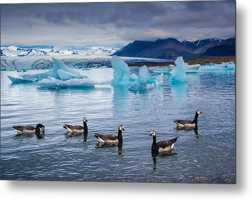Barnacle Geese In Glacier Lagoon In Iceland - Metal Print