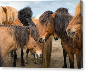 Horses In Iceland - Canvas Print