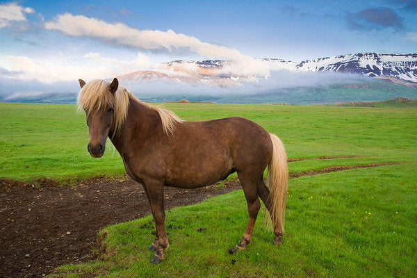 Icelandic Horse In Wonderful Landscape In Iceland - Art Print