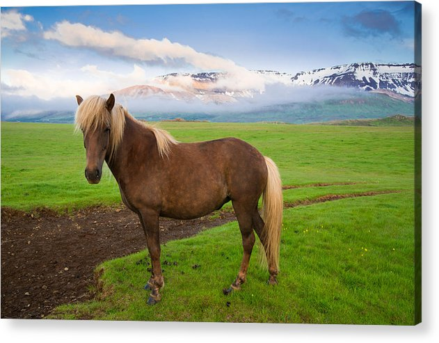Icelandic Horse In Wonderful Landscape In Iceland - Acrylic Print