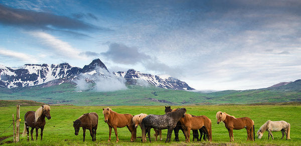 Icelandic Horses In Mountain Landscape In Iceland - Art Print