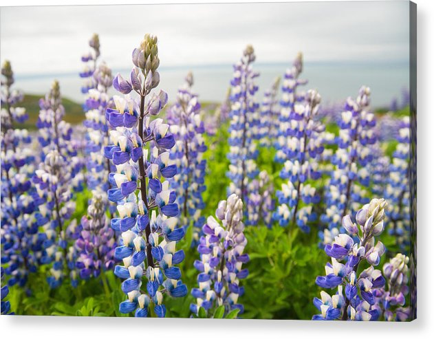 Lupines Lupinus Nootkatensis Flowers In Iceland - Acrylic Print