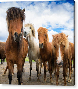 Whats Going On - Four Curious Iceland Horses - Acrylic Print
