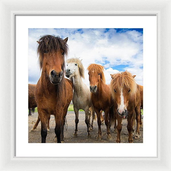 Whats Going On - Four Curious Iceland Horses - Framed Print