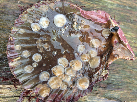 Cornish Native Oyster spat on Queen Scallop Shell - CJ Ranger