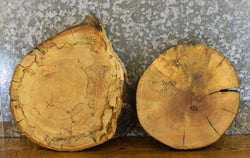 2- Salvaged Tree Log Slice Live Edge Maple Taxidermy Base Slabs 14059-14060