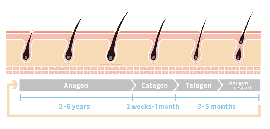 Hair Growth Cycles