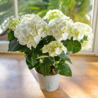 Wasing - Pink & Green / White - Hydrangea Plant.