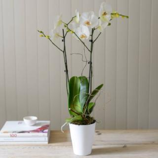 Phalenopsis Orchid in Ceramic Pot Delivery in Winchester