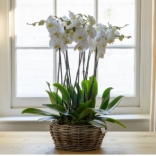 Ophra - Luxury Orchid Planter.