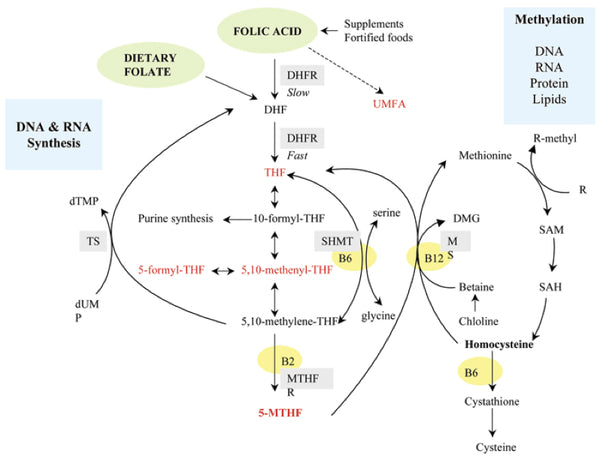 folate metabolism