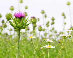 Milk Thistle for Eczema