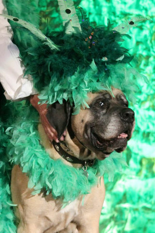 dog on stage at the Fabulous Feather and Fur Follies