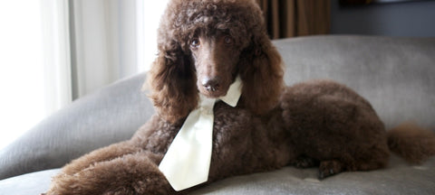 Standard poodle in ivory collar and satin long tie